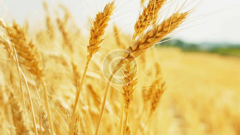 Grain Marketing